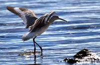 Willet coming in to land at Boca Chica Florida Key