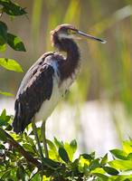 Tricolored Heron in Shark Valley the Everglades Fl