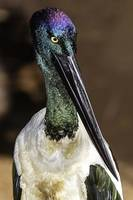 Jabiru portrait, Port Douglas, Queensland, Austral