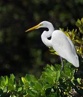 Great White Egret in the Florida Everglades