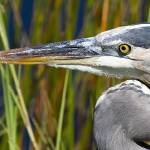 """Great Blue Heron up close, Everglades National Par"" by MrBennettkent"