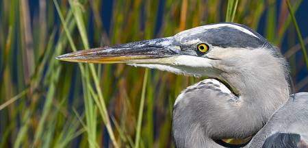 Great Blue Heron up close, Everglades National Par