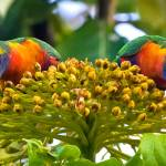 """Symmetry, Rainbow Lorikeets, Cairns, Queensland, A"" by MrBennettkent"