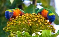 Symmetry, Rainbow Lorikeets, Cairns, Queensland, A