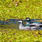 """Mr and Mrs Green Pygmy Goose, Queensland, Australi"" by MrBennettkent"
