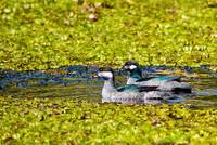Mr and Mrs Green Pygmy Goose, Queensland, Australi