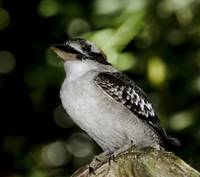 Laughing Kookaburra portrait