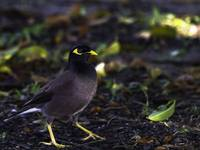 Common Myna, Cairns, Queeensland, Australia
