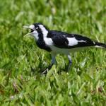 """Magpie Lark / Peewee, Cairns, Australia"" by MrBennettkent"