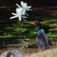 Purple Swamphen admiring the waterlilies