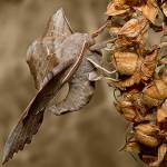"""Poplar HAwk Moth 2"" by MrBennettkent"