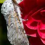"""Puss Moth on red  Camellia"" by MrBennettkent"