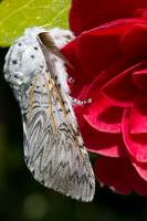 Puss Moth on red  Camellia