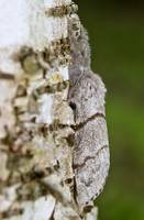 Pale Tussock moth Macro camouflage