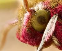 Elephant Hawk moth eye Extreme macro