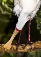 Yellow-billed Spoonbill, Port Douglas, Queensland