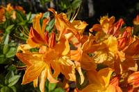 Floral Art Bright Orange Rhododendrons Rhodies