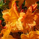 """Rhodies Orange Art Rhododendrons Flowers Prints"" by BasleeTroutman"