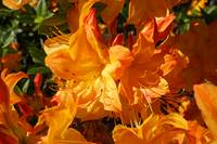 Rhodies Orange Art Rhododendrons Flowers Prints