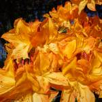 """Orange Rhododendrons Flowers Photography Art"" by BasleeTroutman"