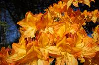 Orange Rhododendrons Flowers Photography Art