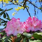 """Blue Sky Rhodies Pink Floral Photography Art Print"" by BasleeTroutman"