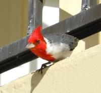 Red-Crested Cardinal - 1