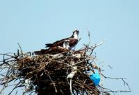 Osprey Couple