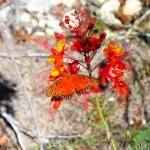 """Gulf Fritillary Butterfly"" by MichaelTidwellPhotography"