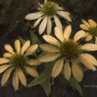 YELLOW CONEFLOWERS Art Prints & Posters by SUSAN LIPSCHUTZ