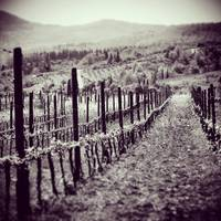 Vineyard Pathways II