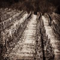 Vineyard pathways