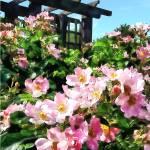 """Pink Roses Near Trellis"" by susansartgallery"