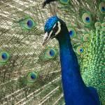 """Posing Peacock"" by ValeriesGallery"
