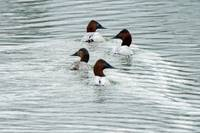 Four Canvasbacks Swimming In Formation