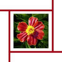 Marigold - Disco Red - flower