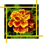 """Golden Marigold flower"" by AppleCoreStudio"