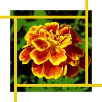 Golden Marigold flower and Gold lines