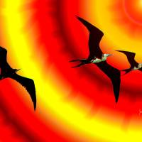 Frigate birds Sunward Bound Art Prints & Posters by John Thompson
