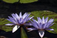 Twin Lavender Tropical Waterlilies
