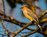 Cedar Waxwing Perched on Bare Limb