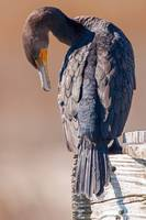 Double Crested Cormorant In Breeding Plumage