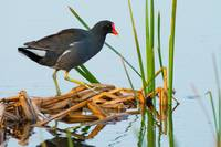 Common Gallinule Walking on Dead Reeds