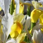 """Irises Flowers art prints Yellow White Floral Gard"" by BasleeTroutman"