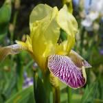 """""""Irises Yellow art prints Purple Iris Flowers"""" by BasleeTroutman"""