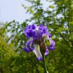 """Irises Flowers art prints Purple White Iris Floral"" by BasleeTroutman"