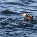 """""""Tufted Puffin"""" by poleyland"""