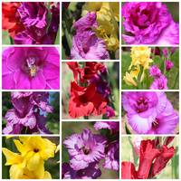Gladiolus Collage