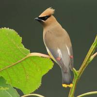 Cedar Waxwing Art Prints & Posters by Steve Shelasky