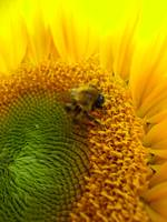Sunflower + bee 3
